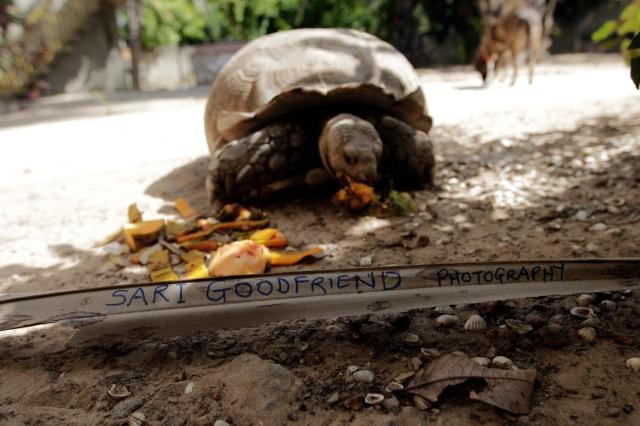Sari Goodfriend.com © Jason Florio - 'Leo' the tortoise, The Gambia, West Africa