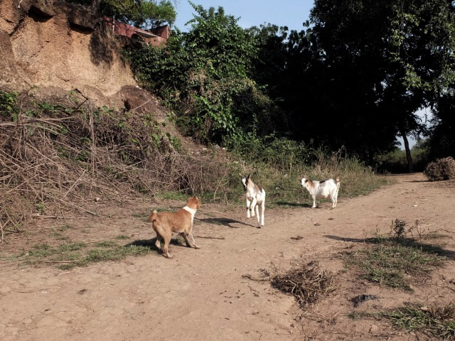 Goat and dog stand off-Kedougou_DSF0525 copy
